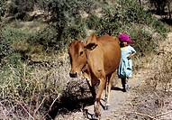 Amran Yemen Small Girl With Cow