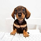 Close-up of a dachshund puppy sitting at a computer keyboard