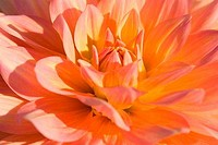 Close-up of an orange Dahlia