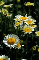 anthemis macedonica