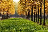 Poplar trees at spring, Maine et Loire, France