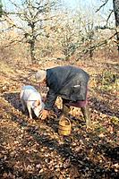 SUS SCROFA DOMESTICAPIGFRANCE _ PERIGORDMARTHE AND PIG TITINE SEARCHING FOR TRUFFLES