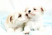 Two puppies kissing