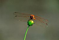 Dragonfly and bud