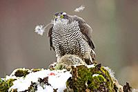 Goshawk Accipiter gentilis on plucking stump plucking fur from prey Rabbit in winter  Scotland  captive-bred bird