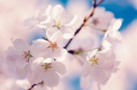 Prunus serrulata, Cherry