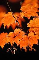 Acer japonicum ´Vitifolium´, Japanese maple