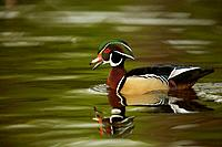 Wood Duck (Aix sponsa) Male