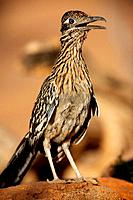 Greater Road Runner (Geococcyx californianus)