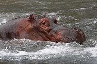 Hippopotamus, Hippo, Hippopotamus amphibius