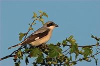 Lesser Grey Shrike , Lanius minor,