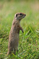 Ground Squirrel, Spermophilus,
