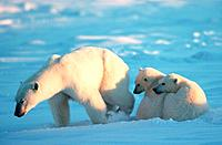 Polar Bears, female with cubs, Churchill, Manitoba, Canada, Ursus maritimus, Thalassarctos maritimus, Arctic