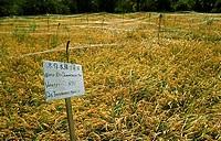 Al Hassa Saudi Arabia Rice Field Experimental Planting