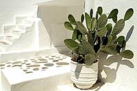 Prickly pear cactus on patio. Mykonos Town, Mykonos. Cyclades Islands, Greece