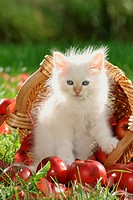 Sacred cat of Burma _ kitten sitting between apples
