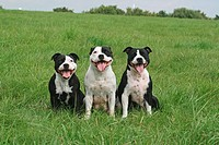three staffordshire bullterrier on meadow