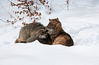 european wolves _ lying in snow / Canis lupus