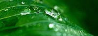 Green leaves with dew (thumbnail)