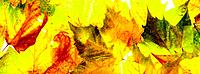 Various Autumn Leaves (thumbnail)