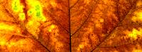 One Autumn leaf close up