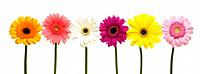Six assorted Gerbera flowers in a row