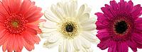 Three assorted Gerbera flowers in a row (thumbnail)