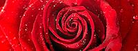 One Red Rose with dew