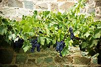 Grapes growing on vines by stone wall