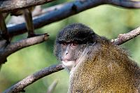 Allen's Swamp Monkey (female) foraging in a tree