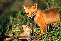 Mother Fox with Baby Looking at Her Summer Portrait AK Southcentral