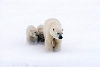Mother Polar Bear & 2 Cubs in Snow Storm Churchill Canada Winter