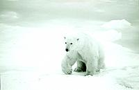 Polar Bear Walking on Ice Pack Churchill Canada