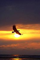 Bald Eagle flying across setting sun Homer Spit Kachemak Bay Winter Backlit Kenai Peninsula