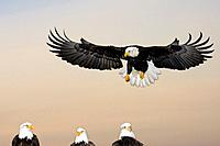 Bald Eagle prepares to land among other Eagles @ sunset Homer Spit Kenai Peninsula Alaska Winter