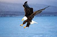 Bald Eagle landing on beach Homer Spit Kachemak Bay Kenai Peninsula Alaska Winter