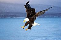 Bald Eagle landing on beach Homer Spit Kachemak Bay Kenai Peninsula Alaska Winter