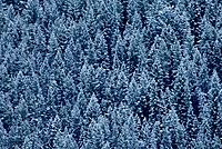 Evergreen Trees w/ Dusting of Snow Grand Teton NP Wyoming