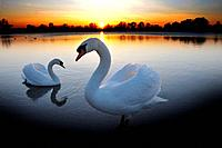 Mute swan (Cygnus olor) couple, sunset