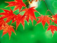 Autumn Japanese maple tree leaves