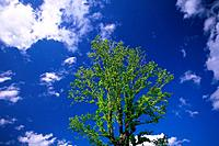 Tree and Blue Sky, Low Angle View, Pan Focus