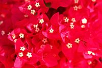 a Lot of Pink Bougainvillea Flowers, High Angle View, Differential Focus, Maldives, Micronesia