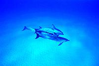 Three Spotted Dolphin are Swimming Together