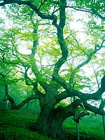 Big Tree, Low Angle View, Pan Focus
