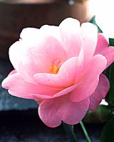 Camellia, close up