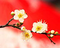 Plum blossoms, close up