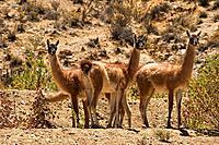 Guanaco (Lama guanicoe), Andes, Chile