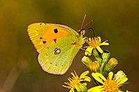 Pale Clouded Yellow butterfly Colias hyale, on flower