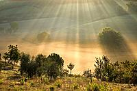 Italy, Tuscany, Olive trees in morning mist (thumbnail)