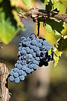 Italy,Tuscany, Bunches of Grapes in Vineyard